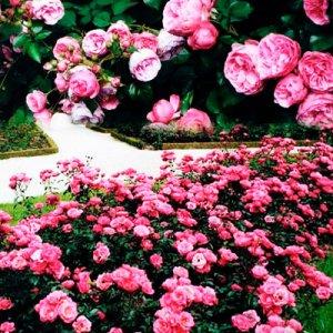 роза Фейри Принц