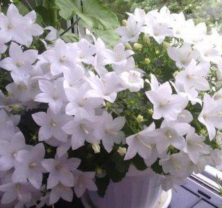 цветок невеста