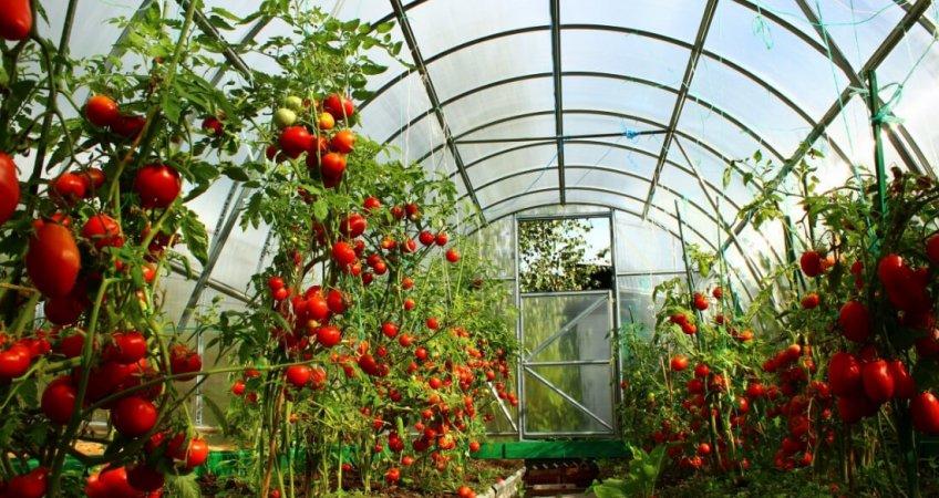 высокие урожаи томатов